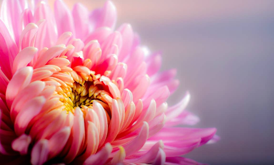 Fall Season Is Chrysanthemum Season Photo