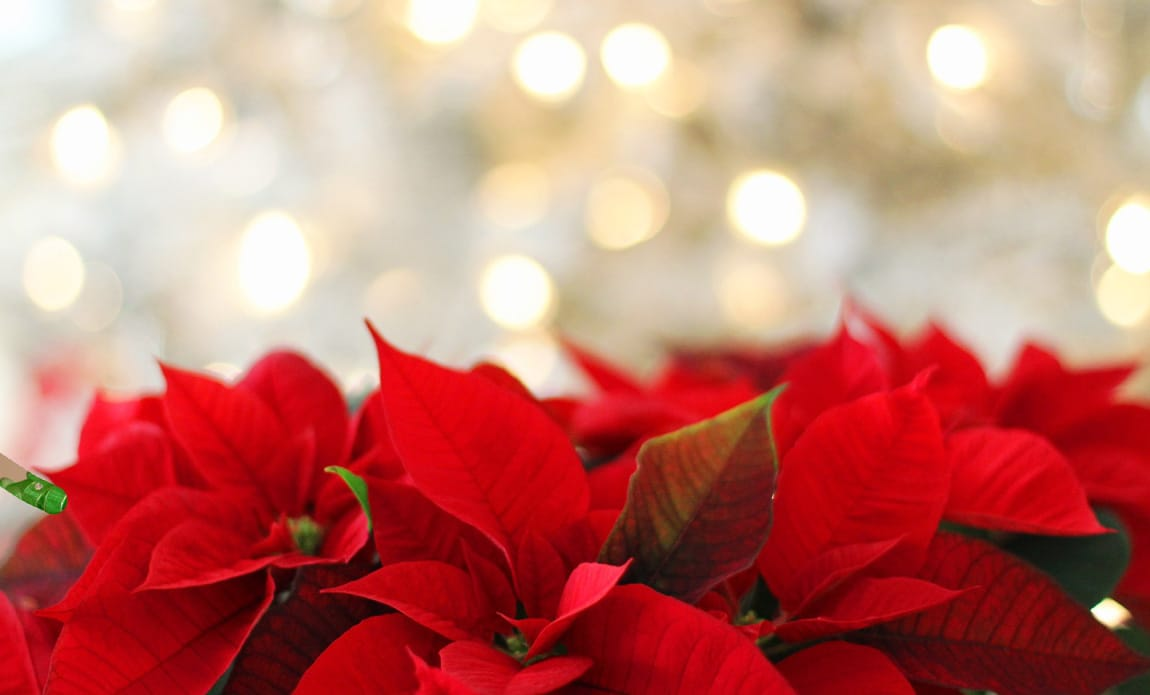 Know The Most Popular Christmas Flowers And Let It Snow! Photo