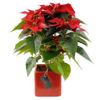 Poinsettia in Red-Sally Helmy - Egypt