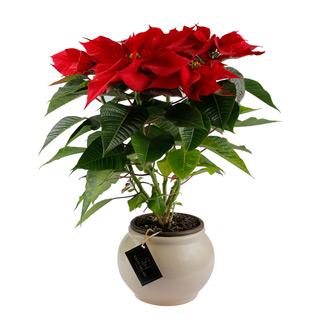 Poinsettia-Sally Helmy - Egypt